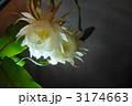 月下美人 ゲッカビジン 花の写真 3174663