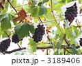 ぶどう棚 ブドウ 実の写真 3189406