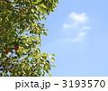 楠 クスノキ 樟の写真 3193570