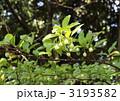 落葉高木のエノキの葉と若い果実 3193582