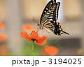 あげは蝶 アゲハチョウ キバナコスモスの写真 3194025
