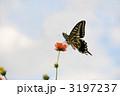 あげは蝶 アゲハチョウ キバナコスモスの写真 3197237