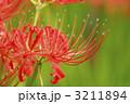 ヒガンバナ 3211894