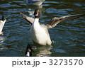 尾長鴨 オナガガモ 野鳥の写真 3273570