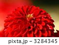 ミツバチ ダリア 植物の写真 3284345