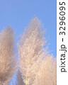 パンパスグラス シロガネヨシ 花穂の写真 3296095