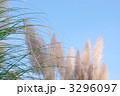 パンパスグラス シロガネヨシ 花穂の写真 3296097
