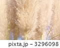 パンパスグラス シロガネヨシ 花穂の写真 3296098