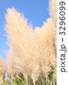 パンパスグラス シロガネヨシ 花穂の写真 3296099