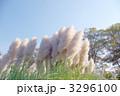 パンパスグラス シロガネヨシ 花穂の写真 3296100