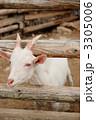 ヤギ やぎ 山羊の写真 3305006