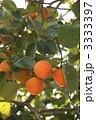 果樹 柿 植物の写真 3333397