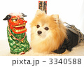 ポメラニアン 賀正 室内犬の写真 3340588