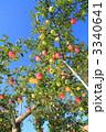リンゴ園 リンゴ畑 フジの写真 3340641