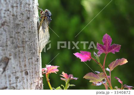真夏の木立とセミ フウの木とクマゼミ 3340872