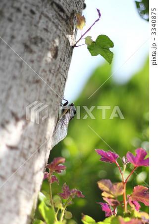 真夏の木立とセミ 楓の木とクマゼミ 3340875