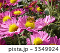 ピンクの菊と蜜蜂 3349924