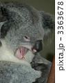 あくびをするコアラ 3363678