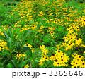 ルドベキア 花びら 植物の写真 3365646