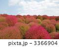 みはらしの丘 ホウキギ 秋の植物の写真 3366904