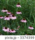 エキナセア ムラサキバレンギク エキナケアの写真 3374399
