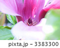 モクレン 雄しべ 木蓮の写真 3383300