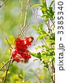 石榴 赤身ザクロ ザクロの写真 3385340