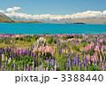 ルピナス咲くテカポ湖 ニュージーランド 3388440