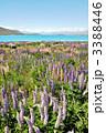 ルピナス咲くテカポ湖 ニュージーランド 3388446