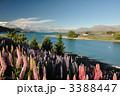 ルピナス咲くテカポ湖 ニュージーランド 3388447