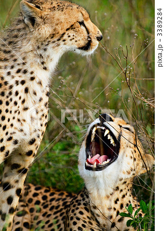 Mother and cub cheetahs 3389284