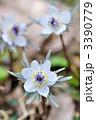 春を告げる可憐な花 セツブンソウ(節分草) 3390779