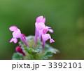 秋に咲いていたホトケノザ 3392101