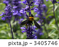 蜂 サルビア ブルーサルビアの写真 3405746