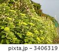 検見川浜の海縁を夕日に照らされ黄色に染めるイソギクの花 3406319