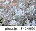 シロタエギク ダスティーミラー 白妙菊の写真 3424950