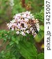 花薄荷 ハナハッカ ワイルドマジョラムの写真 3425007