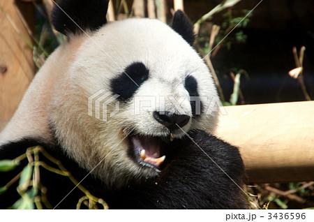 上野動物園のジャイアントパンダ 3436596