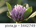 赤クローバー 紫詰草 ムラサキツメクサの写真 3442749
