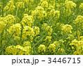 菜の花 3446715