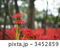 巾着田の曼珠沙華 3452859