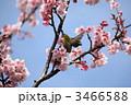 カワヅザクラ メジロ 河津桜の写真 3466588