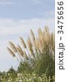 パンパスグラス しろがねよし 花の写真 3475656