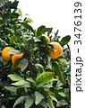 みかん 蜜柑 みかんの木の写真 3476139