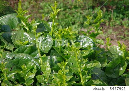 ツルムラサキ 緑茎種ツルムラサキ 3477995