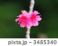 寒緋桜 カンヒザクラ 桜の写真 3485340
