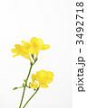フリージア 多年草 花の写真 3492718