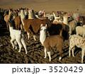 ウユニのアルパカ 3520429
