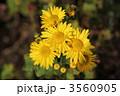 きくの花 黄色い菊 キクの花の写真 3560905