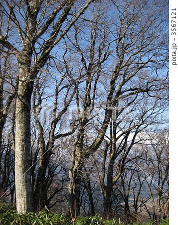 ブナの原生林 3567121